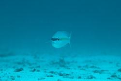 BD-130709-Maldives-9803-Scolopsis-aurata-(Park.-1797)-[Yellowstripe-monocle-bream].jpg